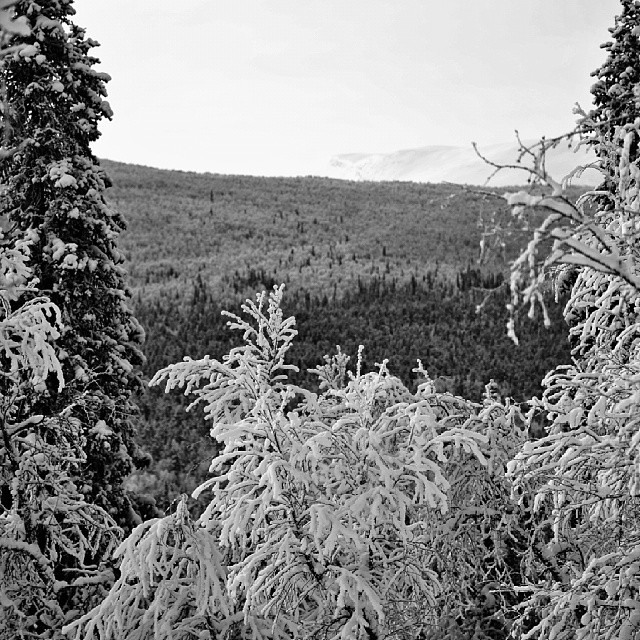 Winter trees. Ammarnäs, Lapland.